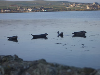 Seals sunbathing in the bay